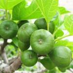 11 lợi ích của trái Vả