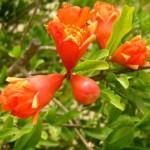 Cách để cây Lựu ra nhiều hoa