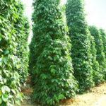 Kĩ thuật trồng và chăm sóc cây Hồ Tiêu - Ho Tieu Phu Quoc 1 150x150