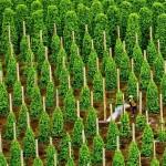 Mô hình trồng Hồ Tiêu hiệu quả cao - Phu quoc 5 150x150