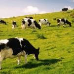 Bệnh viêm vú gia súc