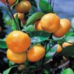 Các biện pháp hạn chế rụng trái non trên cây Quýt - cac bien phap han che rung trai non tren cay quyt 150x150