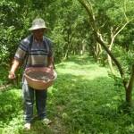 Cách bón phân cho Bưởi sau khi thu hoạch