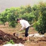 Cách bón phân cho cây Nhãn