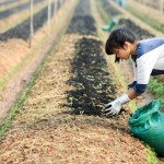 Cách bón phân cho đậu Nành hiệu quả