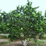 Cách bón phân cho Cam sau khi thu hoạch - cach bon phan pho cam sau khi thu hoach 150x150