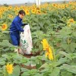 Cách chăm sóc hoa Hướng Dương