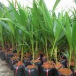 Cách chọn giống để trồng Dừa - cach chon giong de trong dua 150x150
