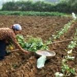 Cách chọn hom giống trồng khoai lang