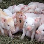 Cách điều trị bệnh tiêu chảy cấp ở Lợn con