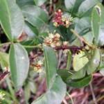 Kĩ thuật trồng cây Sưng ( cây Sâng )