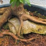 Cách ghép rễ Bonsai - cach ghep re bonsai 150x150