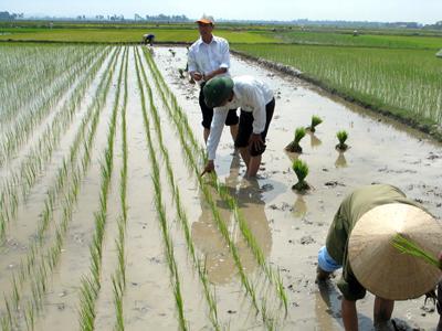Cách gieo cấy Lúa theo hàng - cach gieo cay lua theo hang