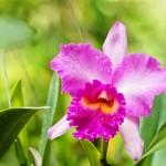 Cách kích thích lan Cattleya ra hoa - cach kich thich cattleya ra hoa 150x150