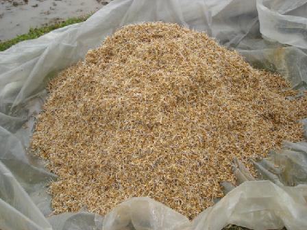 Cách ngâm ủ hạt giống thóc lúa - cach ngam u hat giong