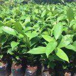 Cách nhân giống cây Măng Cụt - cach nhan giong cay mang cut 1 150x150