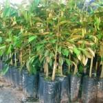 Cách nhân giống cây Sầu Riêng