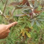 Cách phòng trị bệnh chổi rồng trên cây Sắn - cach phong tri benh choi rong tren cay san 150x150