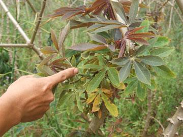 Cách phòng trị bệnh chổi rồng trên cây Sắn - cach phong tri benh choi rong tren cay san