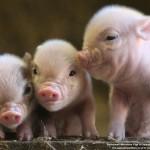 Cách phòng trị bệnh cúm ở Lợn