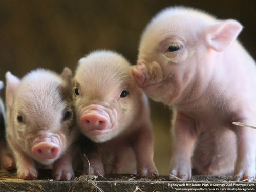 UNIQUE PIGLETS BORN AT PENNYWELL FARM IN BUCKFASTLEIGH DEVON...OWNER CHRIS MURRAY HAS SPENT SIX YEARS BREEDING HIS OWN UNIQUE MINIATURE PIGS AND IS NOW SATISFIED WITH THE END RESULT - CHRIS HAS HAD REQUESTS FROM MANY PLACES FOR HIS PIGS INCLUDING AUSTRALIA. Photograph - Richard Austin  News & Sport Pictures   -   Tel: 07831-566005