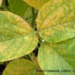 Cách phòng trị bệnh rỉ hại cây đậu - cach phong tri benh ri hai cay dau 150x150