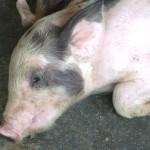 Cách phòng trị bệnh viêm khớp ở Lợn