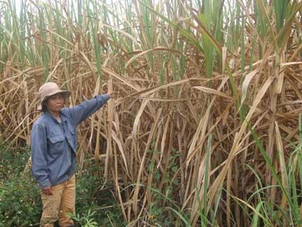 Cách phòng trừ bệnh khô gốc trên cây Mía - cach phong tru benh kho goc tren cay mia