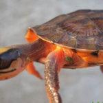 Cách phòng và trị bệnh cho Rùa - cach phong va tri benh cho rua 1 150x150