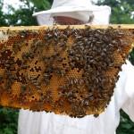 Cách phòng và trị bệnh ỉa chảy cho Ong - cach phong va tri benh ia chay cho ong 150x150
