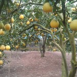 Cách thiết kế vườn để trồng Bưởi - cach thiet ke vuon de trong buoi 150x150