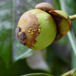 Cách trị bệnh thán thư trên cây Măng Cụt