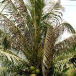Cách trị bọ cánh cứng hại Dừa - cach tri bo canh cung hai dua 1 150x150