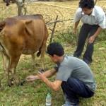 Cách trị hà móng ở Trâu, Bò - cach tri ha mong o trau bo 150x150