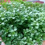 Cách trồng Cải Xoong - cach trong cai xoong 150x150