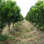 Cách trồng Cam Sành trên gốc ghép cây Volka