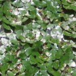 Cách trồng cây Ấu - cach trong cay au 1 150x150