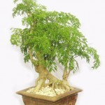 Cách trồng cây Đinh Lăng trong chậu tại nhà