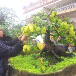 Cách trồng cây Khế ngọt trong chậu tại nhà - cach trong cay khe ngot trong chau tai nha 1 150x150