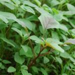 Cách trồng cây rau Dền lá hến