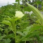 Cách trồng Đậu bắp Sao trắng - cach trong dau bap sao trang 150x150