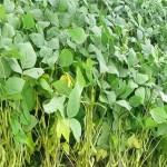 Cách trồng Đậu nành rau