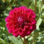 Cách trồng hoa Thược Dược - cach trong hoa thuoc duoc 150x150