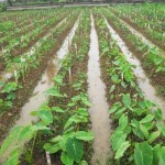 Cách trồng khoai Môn, khoai Sọ
