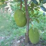 Cách trồng một số giống Mít - cach trong mot so giong mit 150x150