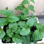 Cách trồng rau Mồng Tơi ( Mùng Tơi) tại nhà