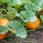 Cách trồng và chăm sóc Bí đỏ - cach trong va cham soc bi do 1 150x150