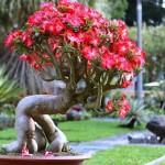 Cách trồng và chăm sóc cây Sứ - cach trong va cham soc cay su 150x150