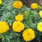 Cách trồng và chăm sóc Cúc Vạn Thọ - cach trong va cham soc cuc van tho 150x150