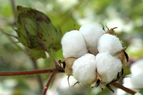 Cotton-Ball1